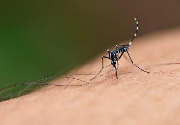 Além da Febre Zika, os mosquitos do gênero Aedes são responsáveis por transmitir dengue, febre amarela e febre Chikungunya