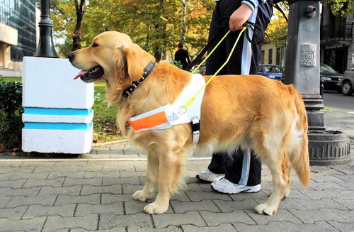 Cães-guia são capazes de melhorar a qualidade de vida de portadores de deficiência visual.
