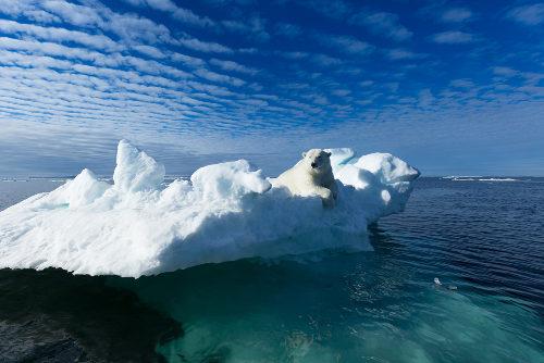 O urso polar está sendo afetado pelo degelo das calotas polares