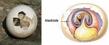 A descalcificação do ovo provocada pela remoção de cálcio através do alantóide.
