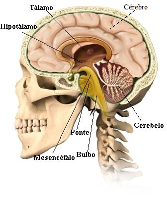 Observe as diferentes partes do encéfalo