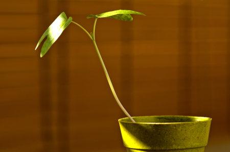 O fototropismo é o movimento orientado da planta em direção à luz