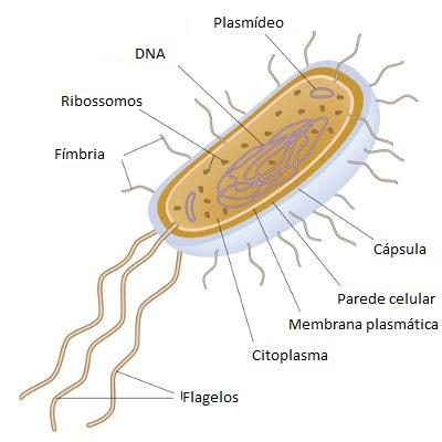 As bactérias são organismos unicelulares e procariontes