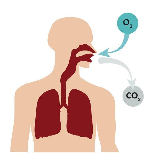 É por meio da respiração que conseguimos captar o oxigênio do ar e liberar o gás carbônico