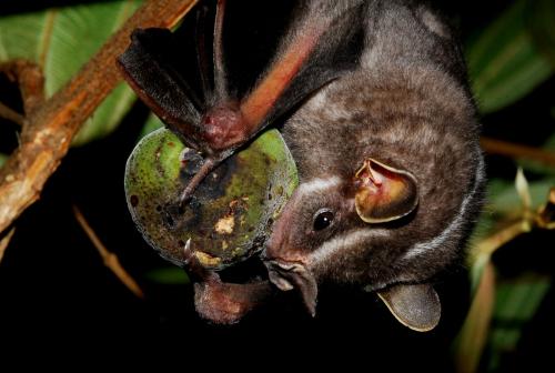 Platyrrhinus lineatus: espécie de morcego de hábitos frugívoros, encontrada em nosso país.