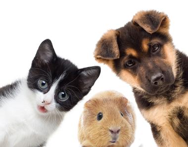 Venha aprender e divertir-se com os nomes dos animais em Espanhol. Os da imagem são: gato, conejillo de indias y perro