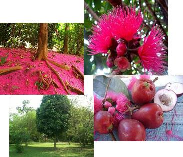 O jambo-vermelho é uma fruta originária da Ásia que se adaptou muito bem em nosso país