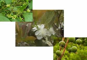 A gabirobeira possui floração abundante, por isso pode ser utilizada como árvore ornamental