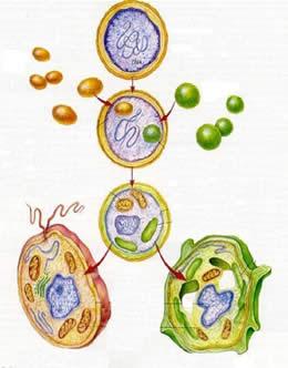 Teoria endossimbiótica: a existência das mitocôndrias e dos cloroplastos.