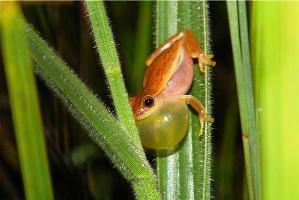 Perereca Dendropsophus nanus vocalizando. Fotografia: Fabrício Hiroiuki Oda.
