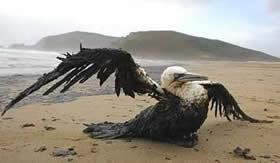 Ave coberta por petróleo derramado no mar.