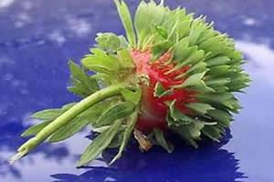Germinação de sementes de morango.