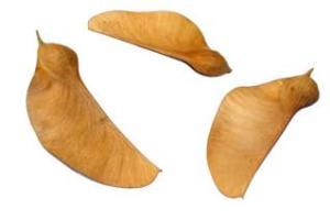 Fruto seco do tipo sâmara, da Tipuana tipu.