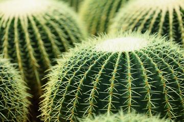 Os espinhos encontrados nas espécies de Cactaceae são modificações foliares