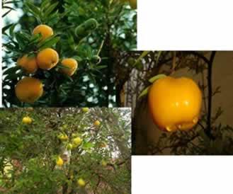 A uvaia possui quatro vezes mais vitamina C do que a laranja