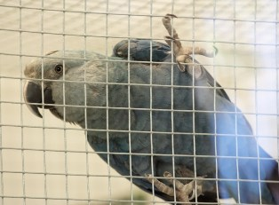 A ararinha-azul só pode ser encontrada em cativeiro