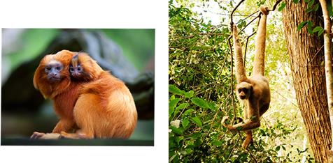 O mico-leão-dourado e o muriqui-do-norte são exemplos de primatas da Mata Atlântica.*