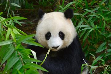 O panda é um exemplo de espécie especialista