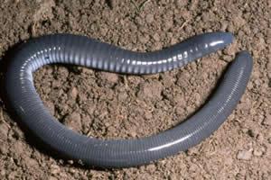 Cobra-cega: anfíbio desprovido de patas.