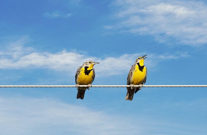 Os pássaros tocam o fio em dois pontos, assim, não há diferença de potencial que faça surgir uma corrente elétrica