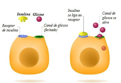 Um exemplo de hormônio é a insulina, que garante a entrada de glicose nas células