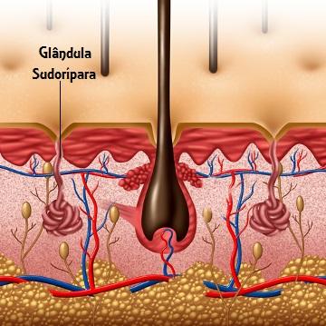 As glândulas sudoríparas são responsáveis pela produção do suor