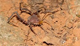 O opilião é muitas vezes confundido com a aranha. Fotografia: Fabrício H. Oda.
