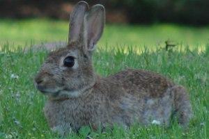 Os coelhos podem apresentar diversas cores.