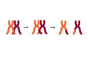Crossing-over: um evento responsável pela variabilidade genética de uma população.