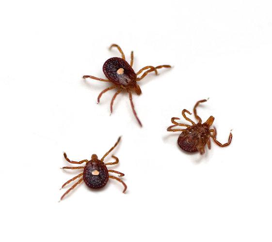 Os carrapatos do gênero Amblyomma são os principais vetores da febre maculosa.