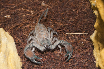 No Brasil, as espécies do gênero Tityus são as grandes responsáveis por acidentes