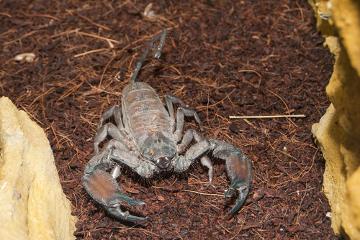 Escorpiões peçonhentos