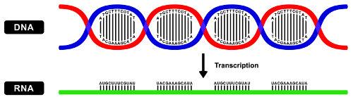 Transcrição (Transcription) é o processo em que uma molécula de RNA é formada a partir de uma molécula de DNA