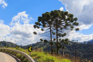 As araucárias são exemplos de gimnospermas que ocorrem no Brasil