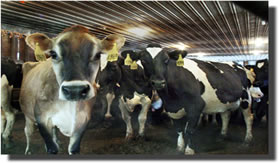 O gás metano pode ser extraído do esterco bovino.