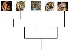 Filogenia das Pantheras: leão, leopardo, onça, tigre e leopardo-das-neves.