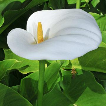 O copo-de-leite é uma planta tóxica muito utilizada como ornamental