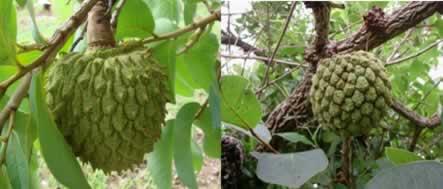 O araticum-do-cerrado é um fruto nativo do cerrado brasileiro