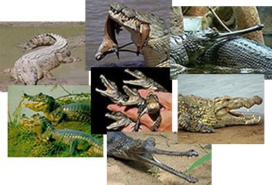 Os crocodilianos são representados pelo crocodilo, jacaré e gavial