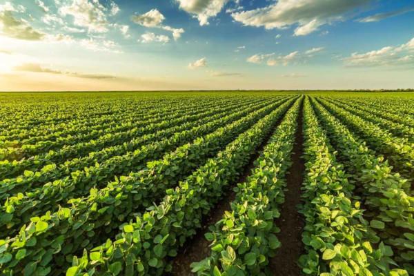 A plantação de soja é um dos principais exemplos de monocultura no Brasil.