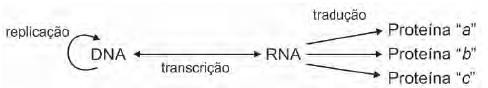 Observe o modelo de transmissão da informação genética