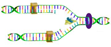 A biologia molecular, entre outros processos, também estuda a replicação do DNA