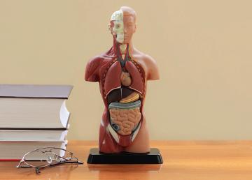 O estudo da anatomia e fisiologia humana é importante para a realização de provas do Enem